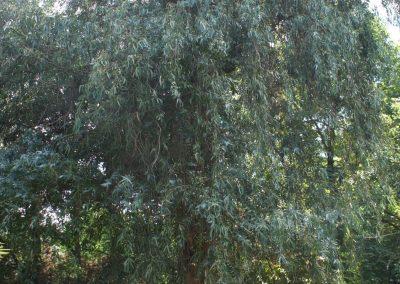 64 Eucalipto blanco